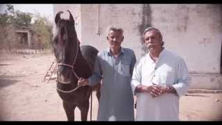 MARWARI War Horse of the Maharaja for the EQUUS INTERNATIONAL FILM FESTIVAL