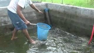 Budidaya Ikan Gabus di Firdaus Kec Sei Rampah Sergai SUMUT Full