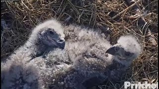 SWFL Eagles ~ Eaglets Tracking Along w/ Harriet ~ Adorable Cuteness & Tail Wiggle 1.15.18