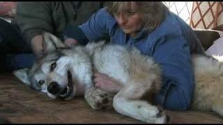 Energy Healing Wolf