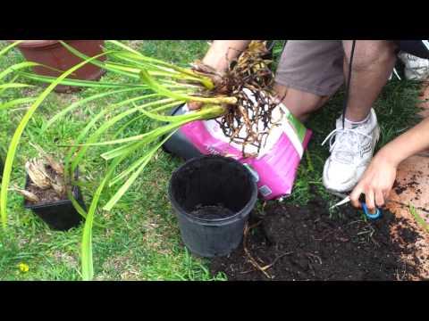 Orchids Part one Re potting and splitting Cymbidium