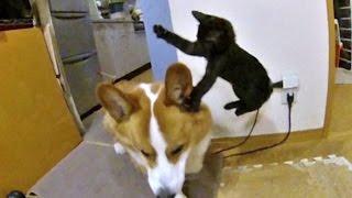 Kitten Kuro attacks Goro. slow motion / ゴローさんに飛び掛る子猫のクロさん 20150611 welsh corgi cat dog flying ninja