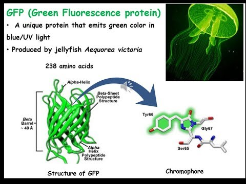 What is GFP (Green Fluorescent Protein)