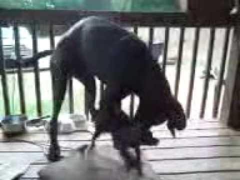 Big dog little dog, great dane humping little dog,