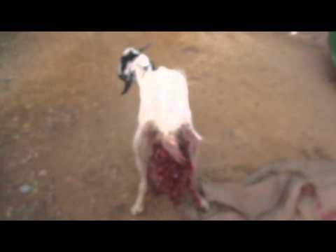 Xxx Mp4 Goat Raped In Faridabad 3gp Sex
