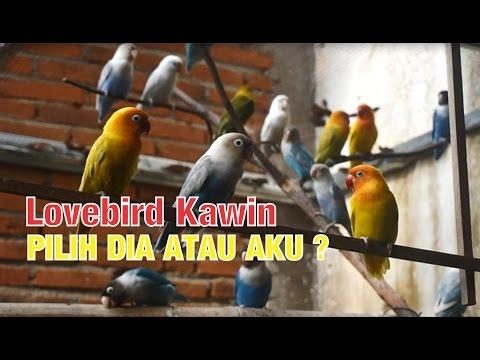 Ternak Lovebird JANTAN dan Betina Minta Kawin Silang Warna