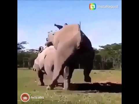 Gajah nafsu