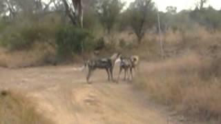 wild dogs meeting