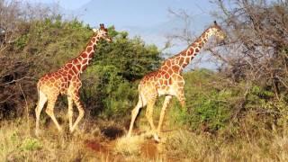 Reticulated Giraffes in Meru National Park, Kenya