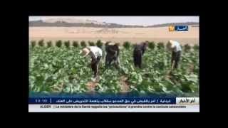 سطيف: زراعة نبتة التبغ مصدر رزق شباب منطقة صالح باي