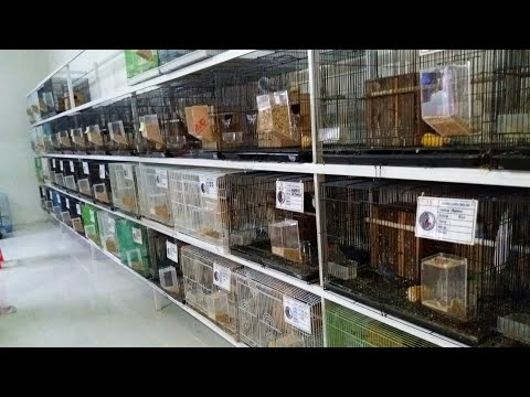 Panen PULUHAN JUTA hingga RATUSAN JUTA dari beternak Lovebird | RASYA BIRD FARM