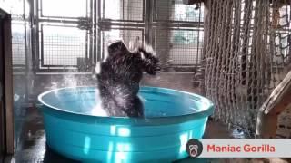 Gorilla dancing to Maniac full video
