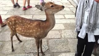 Todaiji Temple and Sika Deer of Nara Park, Japan   SciTech Culture