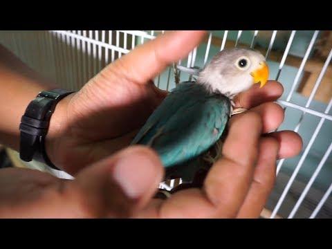 KEGAGALAN KOLONI LOVE BIRD OM BEN ALHAMDULILLAH MASIH TETAP MEMBUAHKAN HASIL