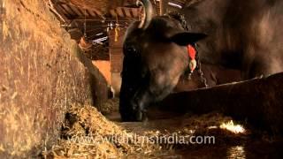 Cattle barn in Delhi