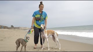 Taking Our Greyhound To The Beach For The First Time