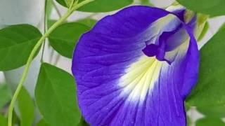 468 - How to grow n care Aparajita/Clitoria Ternatea /Blue Pea/Butterfly Pea plant (Hindi /Urdu) 5/8