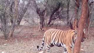 Sariska Tiger video