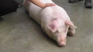 pig dinner in Azogza Ecuador