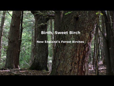 Birch Sweet Birch New England s Forest Birches