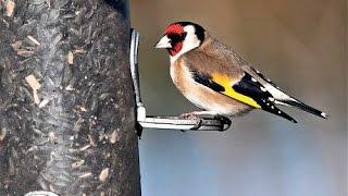 Suara Burung Goldfinch Untuk Master Pleci Atau Kenari Download Mp3 Mp4 3GP HD Video