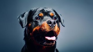 Rottweiler Giant Guardian King