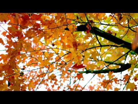 slow motion fall leaves fluttering by tree