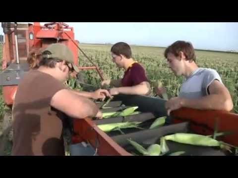 Harvesting Sweet Corn
