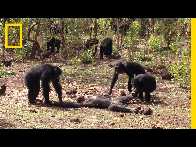 Aftermath of a Chimpanzee Murder Caught in Rare Video   National Geographic