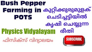 Bush Pepper farming in pots