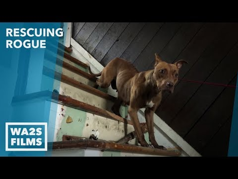Hope For Pup Rescued By Brother of Dogfighter Who Went To Jail Ep30 Rescuing Rogue Detroit Pit Crew