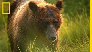 A Cameraman's Wild Encounter With Bears in Alaska   Short Film Showcase