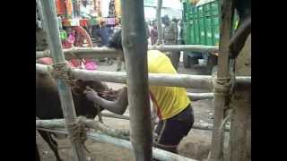 bulls fight cruelty in jallikattu 2013 event