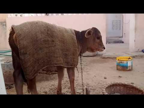 Indian cow calf