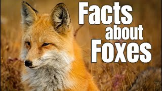 Foxes Facts for Children | Classroom Kids Video