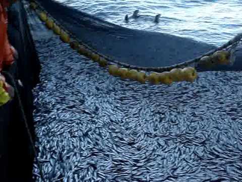 orka copada. pesca de cerco purse seiner fishing vessel sardina