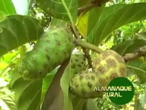 Noni conheça a Fruta Noni e seus Benefícios nonivendaonline .br
