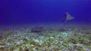 Big Eagle Rays in Cozumel