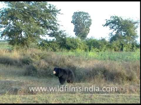 Xxx Mp4 Sloth Bear In Central Indian Forests 3gp Sex