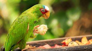 wild parrot ..mithu mithu.wmv