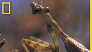 Praying Mantis vs. Grasshopper   National Geographic