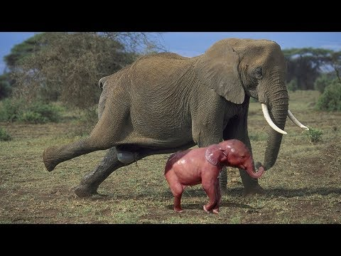 Xxx Mp4 Amazing Herd Of Elephant Help Mother Elephant Giving Birth In The Wild 3gp Sex