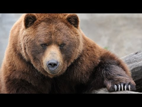 Grizzly River - Grizzly Bears Nature Documentary