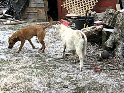 Goats vs Dog