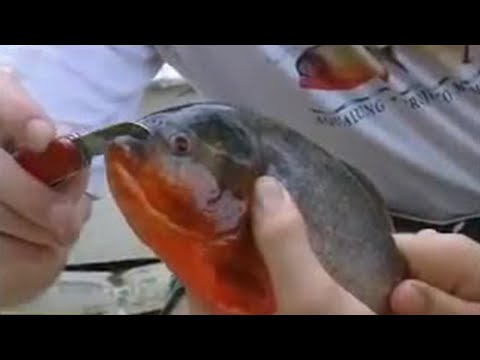 Xxx Mp4 Fish Piranhas Will Even Try And Bite Through Metal Ultimate Killers BBC Wildlife 3gp Sex