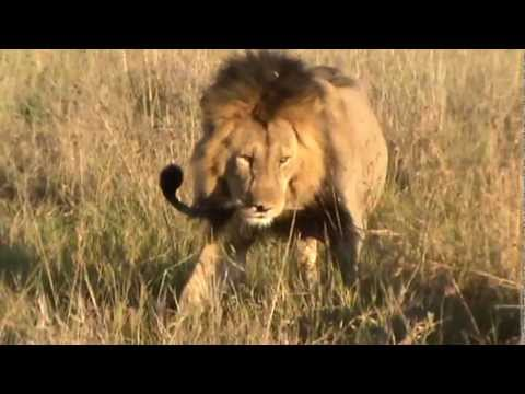 LION INTERACTIONS--Fighting to Mating