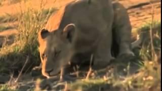Documentary lion: National Geographic Documentary - Animal Film genre