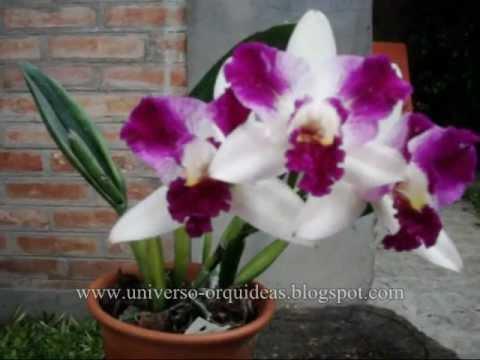 Orquídeas Video cultivo de Cattleyas