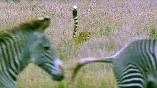 Cheetah Attacks Zebra | Cheetahs | BBC Earth