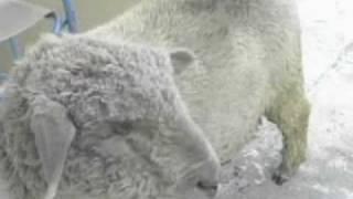 Oveja, Teddy y otros animales con Fede